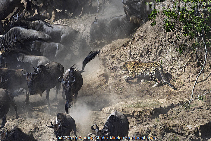 Leopard (Panthera pardus) male hunting Blue Wildebeest (Connochaetes taurinus) on riverbank, Mara River, Masai Mara, Kenya  ,  Adult, Blue Wildebeest, Color Image, Connochaetes taurinus, Day, Full Length, Herd, Horizontal, Hunting, Kenya, Large Group of Animals, Leopard, Mara River, Masai Mara, Migrating, Nobody, Outdoors, Panthera pardus, Photography, Predator, Prey, Running, Side View, Wildlife,Leopard,Blue Wildebeest,Connochaetes taurinus,Kenya  ,  Anup Shah