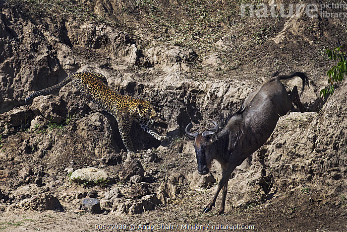 Leopard (Panthera pardus) male hunting Blue Wildebeest (Connochaetes taurinus) on riverbank, Mara River, Masai Mara, Kenya  ,  Adult, Blue Wildebeest, Chasing, Color Image, Connochaetes taurinus, Day, Full Length, Horizontal, Hunting, Kenya, Leopard, Mara River, Masai Mara, Nobody, Outdoors, Panthera pardus, Photography, Predator, Prey, Running, Side View, Two Animals, Wildlife,Leopard,Blue Wildebeest,Connochaetes taurinus,Kenya  ,  Anup Shah