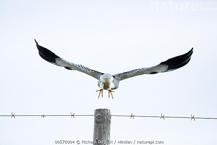 Black-winged Kite (Elanus caeruleus) taking flight, De Mond Nature Reserve, Western Cape, South Africa  ,  Adult, Barbed Wire, Black-winged Kite, Color Image, Day, De Mond Nature Reserve, Elanus caeruleus, Fence, Flying, Full Length, Horizontal, Nobody, One Animal, Outdoors, Photography, Raptor, Rear View, South Africa, Taking Flight, Western Cape, Wildlife,Black-winged Kite,South Africa  ,  Richard Du Toit
