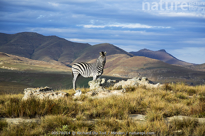 Burchell's Zebra (Equus burchellii) in mountain grassland, Golden Gate Highlands National Park, South Africa  ,  Adult, Animal in Habitat, Burchell's Zebra, Color Image, Day, Equus burchellii, Full Length, Golden Gate Highlands National Park, Grassland, Horizontal, Looking at Camera, Mountain, Nobody, One Animal, Outdoors, Photography, Side View, South Africa, Wildlife,Burchell's Zebra,South Africa  ,  Richard Du Toit