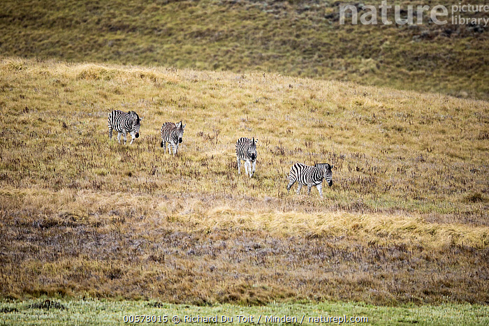 Burchell's Zebra (Equus burchellii) group in grassland, Golden Gate Highlands National Park, South Africa  ,  Adult, Animal in Habitat, Burchell's Zebra, Color Image, Day, Equus burchellii, Following, Four Animals, Full Length, Golden Gate Highlands National Park, Grassland, Horizontal, Line, Nobody, Outdoors, Photography, Side View, South Africa, Wildlife,Burchell's Zebra,South Africa  ,  Richard Du Toit