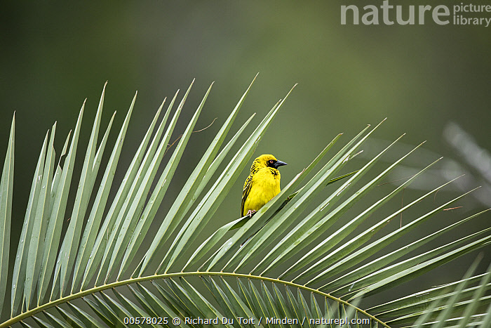 Village Weaver (Ploceus cucullatus), Itala Game Reserve, KwaZulu-Natal, South Africa  ,  Adult, Color Image, Day, Front View, Full Length, Horizontal, Itala Game Reserve, KwaZulu-Natal, Nobody, One Animal, Outdoors, Photography, Ploceus cucullatus, Solitude, South Africa, Village Weaver, Wildlife,Village Weaver,South Africa  ,  Richard Du Toit