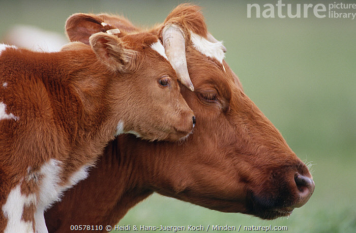 Domestic Cattle (Bos taurus) calf nuzzling mother, Otterndorf, Lower Saxony, Germany  ,  Adult, Affection, Baby, Bonding, Bos taurus, Calf, Color Image, Day, Domestic Cattle, Female, Germany, Head and Shoulders, Horizontal, Lower Saxony, Mother, Nobody, Nuzzling, Otterndorf, Outdoors, Parent, Photography, Side View, Tenderness, Touching, Two Animals, Wildlife,Domestic Cattle,Germany  ,  Heidi & Hans-Juergen Koch