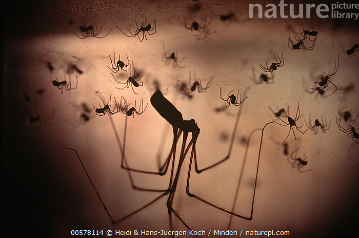 Daddy-Long-Legs Spider (Pholcus phalangioides) mother with hatchlings, Cuxhaven, Lower Saxony, Germany  ,  Adult, Baby, Captive, Color Image, Cuxhaven, Daddy-Long-Legs Spider, Day, Female, Full Length, Germany, Hanging, Hatchling, Horizontal, Indoors, Large Group of Animals, Lower Saxony, Mother, Nobody, Parent, Pholcus phalangioides, Photography, Side View, Silhouette, Studio, Three Quarter Length, Upside Down, Wildlife,Daddy-Long-Legs Spider,Germany  ,  Heidi & Hans-Juergen Koch