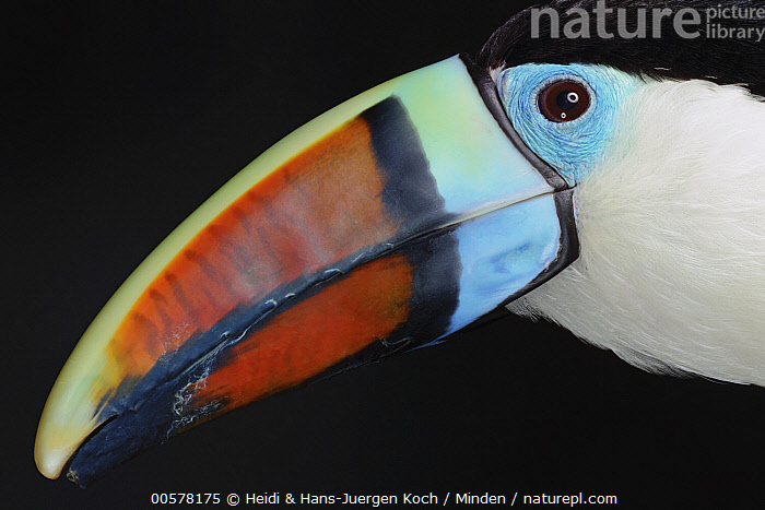 Red-billed Toucan (Ramphastos tucanus), native to South America  ,  Adult, Captive, Color Image, Day, Head and Shoulders, Horizontal, Indoors, Nobody, One Animal, Photography, Portrait, Profile, Ramphastos tucanus, Red-billed Toucan, Side View, Studio, Wildlife,Red-billed Toucan  ,  Heidi & Hans-Juergen Koch