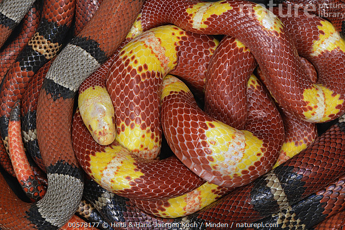 Kingsnake (Lampropeltis sp) group with different colorations, native to North America  ,  Adult, Captive, Close Up, Color Image, Day, Difference, Four Animals, Full Frame, Horizontal, Indoors, Kingsnake, Lampropeltis sp, Nature Park Feldberger Seenlandschaft, Nobody, Photography, Side View, Studio, Three Quarter Length, Variation, Wildlife,Kingsnake  ,  Heidi & Hans-Juergen Koch