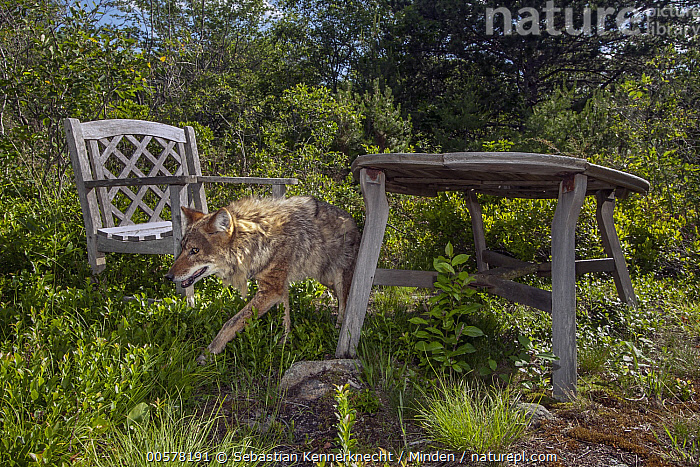 Coyote (Canis latrans) male walking through patio furniture, Gloucester, Cape Ann, eastern Massachusetts  ,  Adult, Animal, Backyard, Camera Trap, Canidae, Canis sp, Canis latrans, Cape Ann, Color Image, Conservation, Coydog, Coyote, Coywolf, Day, Eastern Coyote, Encroaching, Environmental Issue, Full Length, Furniture, Gloucester, Gloucester Coyote Project, Habitat Loss, Horizontal, Male, Mammal, Massachusetts, Nobody, North America, Northeastern Coyote, One Animal, Outdoors, Patio Furniture, Photography, Side View, Table, United States of America, Urban, USA, Walking, Wildlife,Coyote,Massachusetts, USA  ,  Sebastian Kennerknecht