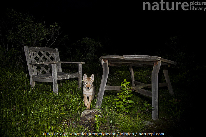 Coyote (Canis latrans) pup next to patio furniture at night, Gloucester, Cape Ann, eastern Massachusetts  ,  Animal, Baby, Backyard, Camera Trap, Canidae, Canis sp, Canis latrans, Cape Ann, Color Image, Conservation, Coydog, Coyote, Coywolf, Eastern Coyote, Encroaching, Environmental Issue, Front View, Full Length, Furniture, Gloucester, Gloucester Coyote Project, Habitat Loss, Horizontal, Looking, Looking at Camera, Mammal, Massachusetts, Night, Nobody, North America, Northeastern Coyote, One Animal, Outdoors, Patio Furniture, Photography, Pup, Table, United States of America, Urban, USA, Wildlife, Young,Coyote,Massachusetts, USA  ,  Sebastian Kennerknecht