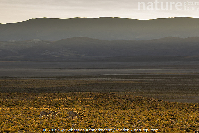 Vicuna (Vicugna vicugna) group in dry puna grassland, Abra Granada, Andes, northwestern Argentina  ,  Abra Granada, Adult, Andes Mountains, Andes, Animal, Animal in Habitat, Argentina, Camelidae, Color Image, Day, Dry Puna, Five Animals, Full Length, High Andes, Horizontal, Mammal, Mountain Range, Nobody, Outdoors, Photography, Puna, Side View, South America, Ungulate, Vicugna, Vicugna sp, Vicugna vicugna, Vicuna, Wildlife,Vicuna,Argentina  ,  Sebastian Kennerknecht