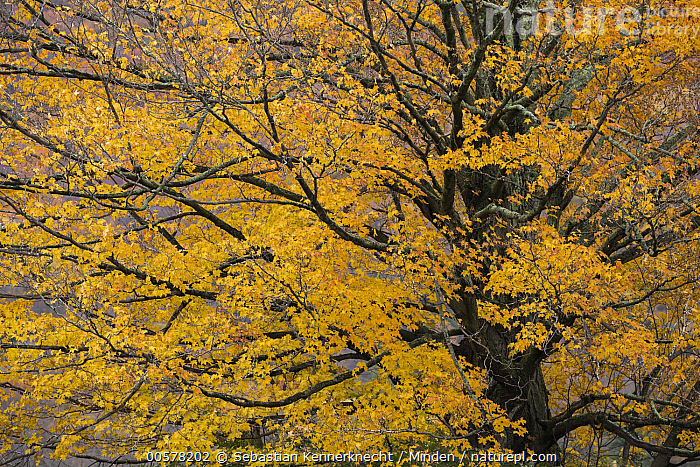 Sugar Maple (Acer saccharum) tree in autumn, Williamstown, Berkshires, Massachusetts  ,  Acer sp, Acer saccharum, Angiosperm, Autumn, Berkshires, Color Image, Day, Fall, Fall Colors, Flora, Forest, Horizontal, Landscape, Maple, Massachusetts, Nobody, North America, Northern Hardwood Forest, Orange, Outdoors, Photography, Plant, Sapindaceae, Sugar Maple, Tree, Tree Trunk, United States of America, USA, Wildlife, Williamstown, Yellow,Sugar Maple, , ,Massachusetts, USA  ,  Sebastian Kennerknecht
