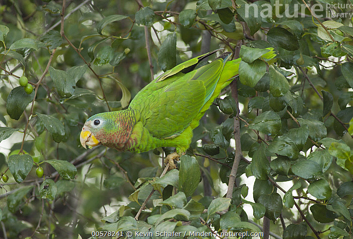 Yellow-billed Parrot (Amazona collaria), Jamaica  ,  Adult, Amazona collaria, Color Image, Day, Full Length, Horizontal, Jamaica, Nobody, One Animal, Outdoors, Parrot, Photography, Side View, Threatened Species, Vulnerable Species, Wildlife, Yellow-billed Parrot,Yellow-billed Parrot,Jamaica  ,  Kevin Schafer