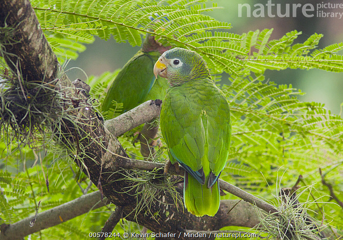 Yellow-billed Parrot (Amazona collaria), Jamaica  ,  Adult, Amazona collaria, Color Image, Day, Full Length, Horizontal, Jamaica, Nobody, One Animal, Outdoors, Parrot, Photography, Rear View, Threatened Species, Vulnerable Species, Wildlife, Yellow-billed Parrot,Yellow-billed Parrot,Jamaica  ,  Kevin Schafer