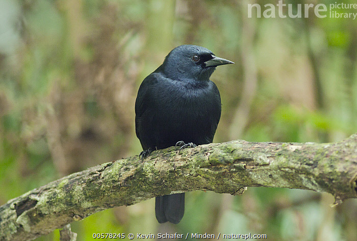 Jamaican Blackbird (Nesopsar nigerrimus), Blue and John Crow Mountains National Park, Jamaica  ,  Adult, Blue and John Crow Mountains National Park, Color Image, Day, Endangered Species, Front View, Full Length, Horizontal, Jamaica, Jamaican Blackbird, Nesopsar nigerrimus, Nobody, One Animal, Outdoors, Photography, Songbird, Wildlife,Jamaican Blackbird,Jamaica  ,  Kevin Schafer