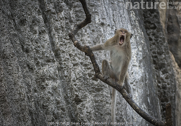 Long-tailed Macaque (Macaca fascicularis) calling, Malay Peninsula, Thailand  ,  Adult, Arboreal, Calling, Color Image, Day, Front View, Horizontal, Looking at Camera, Long-tailed Macaque, Macaca fascicularis, Malay Peninsula, Nobody, One Animal, Open Mouth, Outdoors, Photography, Thailand, Three Quarter Length, Wildlife,Long-tailed Macaque,Thailand  ,  Sean Crane