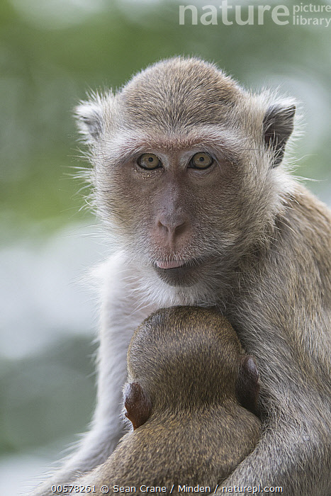 Long-tailed Macaque (Macaca fascicularis) mother and young, Malay Peninsula, Thailand  ,  Baby, Color Image, Day, Female, Looking at Camera, Long-tailed Macaque, Macaca fascicularis, Malay Peninsula, Mother, Nobody, Outdoors, Parent, Photography, Portrait, Rear View, Side View, Thailand, Two Animals, Vertical, Waist Up, Wildlife, Young,Long-tailed Macaque,Thailand  ,  Sean Crane