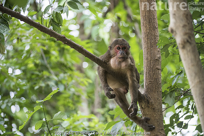 Stump-tailed Macaque (Macaca arctoides) male with full mouth, Kaeng Krachan National Park, Thailand  ,  Adult, Arboreal, Chewing, Color Image, Day, Front View, Full Length, Horizontal, Kaeng Krachan National Park, Macaca arctoides, Male, Nobody, One Animal, Outdoors, Photography, Stump-tailed Macaque, Thailand, Threatened Species, Vulnerable Species, Wildlife,Stump-tailed Macaque,Thailand  ,  Sean Crane