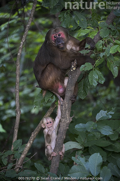 Stump-tailed Macaque (Macaca arctoides) male and young, Kaeng Krachan National Park, Thailand  ,  Adult, Arboreal, Baby, Color Image, Day, Front View, Full Length, Kaeng Krachan National Park, Macaca arctoides, Male, Nobody, Outdoors, Photography, Side View, Stump-tailed Macaque, Thailand, Threatened Species, Two Animals, Vertical, Vulnerable Species, Wildlife, Young,Stump-tailed Macaque,Thailand  ,  Sean Crane