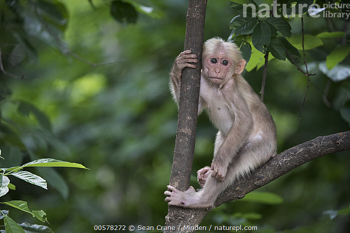 Stump-tailed Macaque (Macaca arctoides) young, Kaeng Krachan National Park, Thailand  ,  Arboreal, Baby, Color Image, Cute, Day, Full Length, Horizontal, Kaeng Krachan National Park, Macaca arctoides, Nobody, One Animal, Outdoors, Photography, Side View, Stump-tailed Macaque, Thailand, Threatened Species, Vulnerable Species, Wildlife, Young,Stump-tailed Macaque,Thailand  ,  Sean Crane