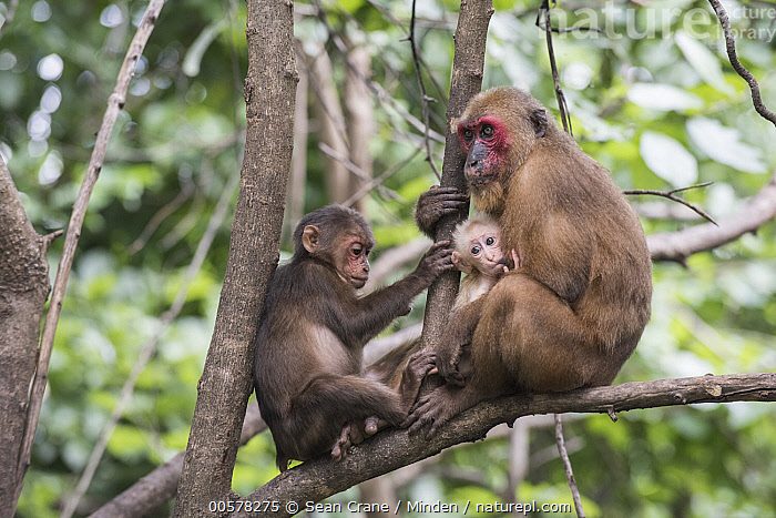 Stump-tailed Macaque (Macaca arctoides) mother nursing young with juvenile, Kaeng Krachan National Park, Thailand  ,  Adult, Arboreal, Baby, Color Image, Day, Feeding, Female, Full Length, Horizontal, Juvenile, Kaeng Krachan National Park, Macaca arctoides, Mother, Nobody, Nursing, Outdoors, Parent, Parenting, Photography, Side View, Stump-tailed Macaque, Thailand, Threatened Species, Three Animals, Vulnerable Species, Wildlife, Young,Stump-tailed Macaque,Thailand  ,  Sean Crane
