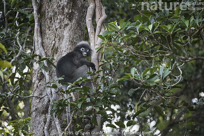 Dusky Leaf Monkey (Trachypithecus obscurus) in tree, Khlong Saeng Wildlife Sanctuary, Thailand  ,  Adult, Arboreal, Color Image, Day, Dusky Leaf Monkey, Full Length, Horizontal, Khlong Saeng Wildlife Sanctuary, Looking at Camera, Nobody, One Animal, Outdoors, Photography, Side View, Thailand, Trachypithecus obscurus, Wildlife,Dusky Leaf Monkey,Thailand  ,  Sean Crane