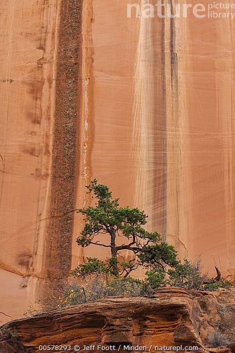 Ponderosa Pine (Pinus ponderosa) tree and water-stained cliff, Long Canyon, Grand Staircase-Escalante National Monument, Utah  ,  Adversity, Cliff, Color Image, Day, Grand Staircase-Escalante National Monument, Landscape, Line, Long Canyon, Nobody, Outdoors, Photography, Pinus ponderosa, Ponderosa Pine, Stained, Striped, Tree, Utah, Vertical,Ponderosa Pine,Utah, USA  ,  Jeff Foott