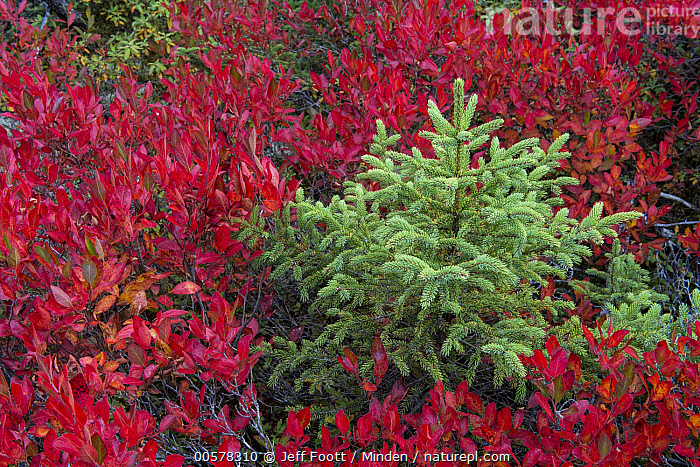 Spruce (Picea sp) tree and Lowbush Blueberry (Vaccinium angustifolium) in autumn, Acadia National Park, Maine  ,  Acadia National Park, Autumn, Bush, Christmas, Color Image, Day, Fall Colors, Horizontal, Landscape, Lowbush Blueberry, Maine, Nobody, Outdoors, Photography, Picea sp, Red, Sapling, Spruce, Vaccinium angustifolium,Spruce,Lowbush Blueberry,Vaccinium angustifolium,Maine, USA  ,  Jeff Foott