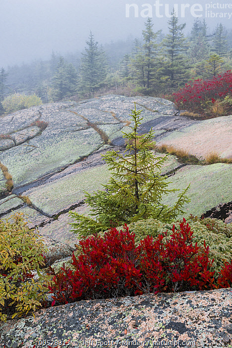 Spruce (Picea sp) tree and Lowbush Blueberry (Vaccinium angustifolium) in autumn, Acadia National Park, Maine  ,  Acadia National Park, Adversity, Autumn, Bush, Color Image, Day, Fall Colors, Fog, Granite, Landscape, Lowbush Blueberry, Maine, Mist, Nobody, Outdoors, Photography, Picea sp, Red, Spruce, Vaccinium angustifolium, Vertical,Spruce,Lowbush Blueberry,Vaccinium angustifolium,Maine, USA  ,  Jeff Foott