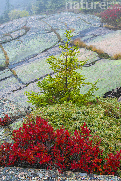 Spruce (Picea sp) tree and Lowbush Blueberry (Vaccinium angustifolium) in autumn, Acadia National Park, Maine  ,  Acadia National Park, Adversity, Autumn, Bush, Color Image, Day, Fall Colors, Granite, Landscape, Lowbush Blueberry, Maine, Nobody, Outdoors, Photography, Picea sp, Red, Spruce, Vaccinium angustifolium, Vertical,Spruce,Lowbush Blueberry,Vaccinium angustifolium,Maine, USA  ,  Jeff Foott