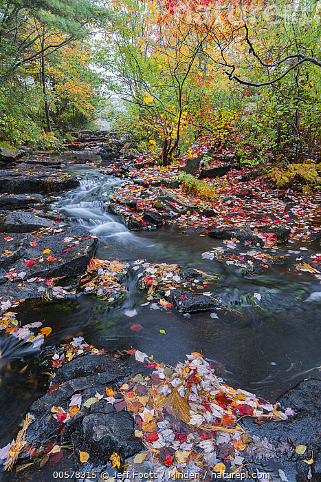 Creek in autumn, Duck Brook, Acadia National Park, Maine, Acadia National Park, Autumn, Color Image, Creek, Day, Duck Brook, Fall Colors, Forest, Interior, Landscape, Leaf, Long Exposure, Maine, Nobody, Outdoors, Photography, Time Exposure, Vertical,Maine, USA, Jeff Foott