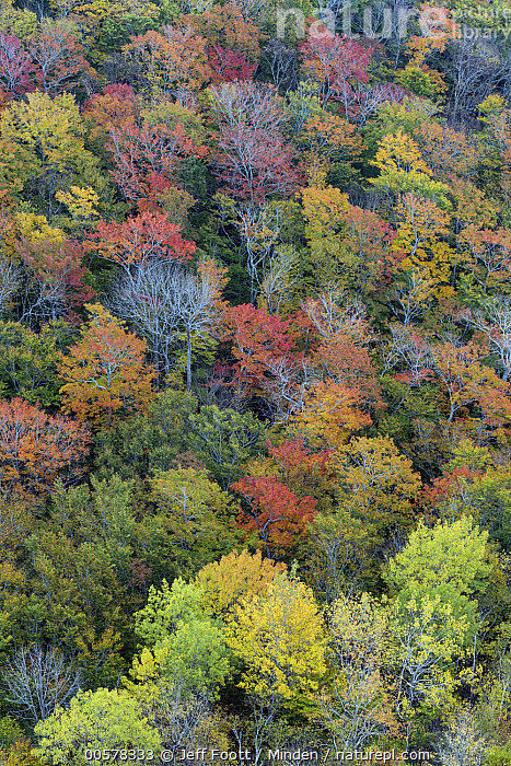 Deciduous forest in autumn, Acadia National Park, Maine, Acadia National Park, Autumn, Canopy, Color Image, Day, Deciduous, Deciduous Forest, Fall Colors, Forest, Full Frame, Landscape, Maine, Nobody, Outdoors, Photography, Vertical,Maine, USA, Jeff Foott
