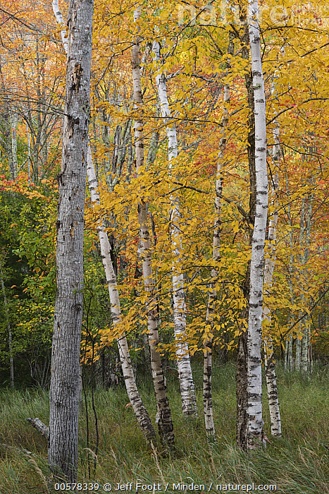 Paper Birch (Betula papyrifera) trees in autumn, Acadia National Park, Maine  ,  Acadia National Park, Autumn, Betula papyrifera, Color Image, Day, Deciduous, Fall Colors, Interior, Landscape, Maine, Nobody, Orange, Outdoors, Paper Birch, Photography, Tree, Tree Trunk, Vertical, Yellow,Paper Birch,Maine, USA  ,  Jeff Foott