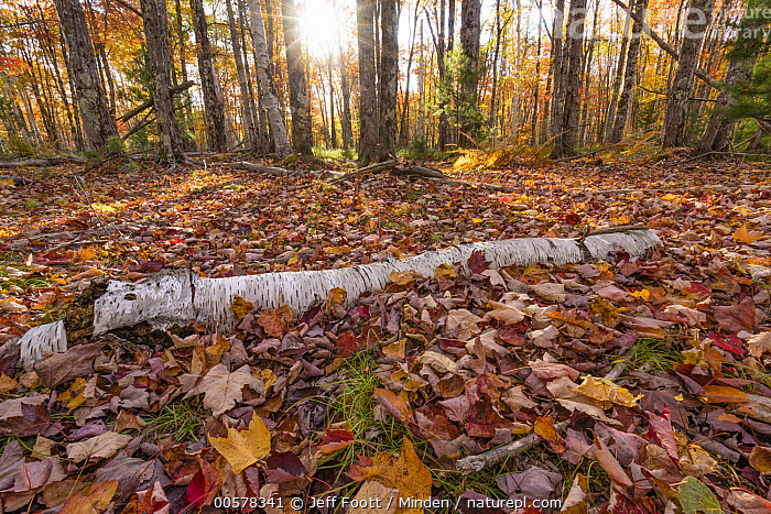 Paper Birch (Betula papyrifera) log and leaves in autumn, Acadia National Park, Maine  ,  Acadia National Park, Autumn, Betula papyrifera, Color Image, Day, Deciduous, Deciduous Forest, Fall Colors, Forest, Horizontal, Interior, Landscape, Leaf, Log, Maine, Nobody, Outdoors, Paper Birch, Photography, Tree, Tree Trunk,Paper Birch,Maine, USA  ,  Jeff Foott