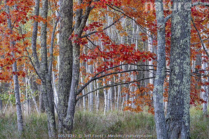 Sugar Maple (Acer saccharum) trees in autumn, Acadia National Park, Maine  ,  Acadia National Park, Acer saccharum, Autumn, Color Image, Day, Deciduous, Deciduous Forest, Fall Colors, Forest, Horizontal, Interior, Landscape, Maine, Nobody, Outdoors, Photography, Red, Sugar Maple, Tree, Tree Trunk,Sugar Maple,Maine, USA  ,  Jeff Foott