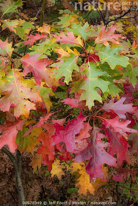 Northern Red Oak (Quercus rubra) leaves in autumn, Acadia National Park, Maine  ,  Acadia National Park, Autumn, Close Up, Color Image, Day, Deciduous, Detail, Fall Colors, Leaf, Maine, Nobody, Northern Red Oak, Outdoors, Photography, Quercus rubra, Red, Vertical,Northern Red Oak,Maine, USA  ,  Jeff Foott