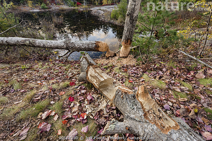 American Beaver (Castor canadensis) chewed trees, Acadia National Park, Maine  ,  Acadia National Park, American Beaver, Animal Sign, Castor canadensis, Chew Mark, Color Image, Damage, Day, Horizontal, Maine, Nobody, Outdoors, Photography, Tree, Tree Trunk, Wildlife,American Beaver,Maine, USA  ,  Jeff Foott