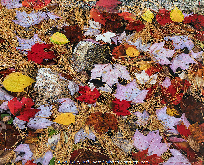 Maple (Acer sp) leaves and needles in autumn, Acadia National Park, Maine  ,  Abstract, Acadia National Park, Acer sp, Autumn, Color Image, Day, Fall Colors, Forest Floor, Full Frame, Horizontal, Landscape, Maine, Maple, Nature Pattern, Needle, Nobody, Outdoors, Photography, Red,Maple,Maine, USA  ,  Jeff Foott