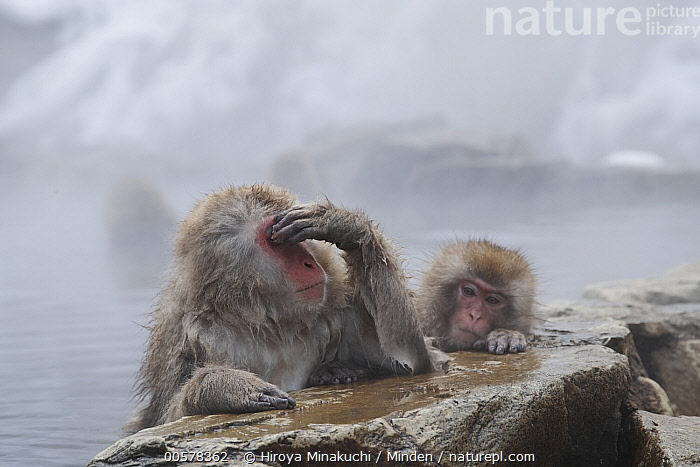 Japanese Macaque (Macaca fuscata) parent in hot spring with juvenile, Jigokudani, Nagano, Japan  ,  Adult, Color Image, Day, Front View, Funny, Head and Shoulders, Horizontal, Hot Spring, Humor, Japan, Japanese Macaque, Jigokudani, Juvenile, Macaca fuscata, Nagano, Nobody, Outdoors, Parent, Photography, Side View, Soaking, Three Animals, Waist Up, Wildlife  ,  Hiroya Minakuchi