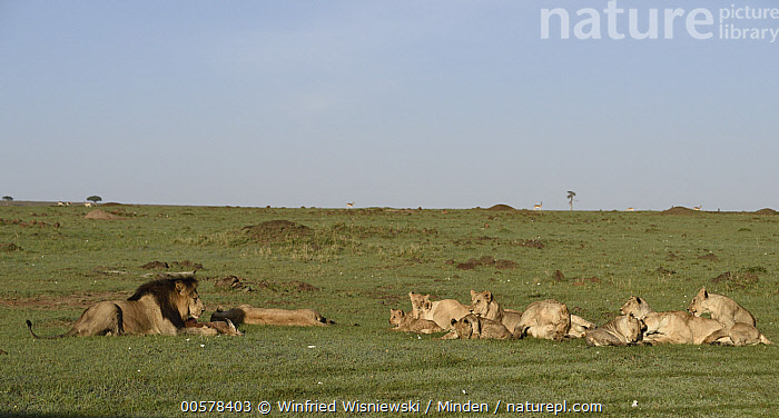 African Lion (Panthera leo) male defending killed Eland (Taurotragus oryx) calf from rest of pride, Masai Mara, Kenya  ,  Adult, African Lion, Baby, Calf, Carcass, Color Image, Day, Dead, Death, Defending, Dimorphic, Eland, Female, Full Length, Horizontal, Kenya, Lioness, Male, Masai Mara, Medium Group of Animals, Nobody, Outdoors, Panthera leo, Photography, Predator, Prey, Pride, Sexual Dimorphism, Side View, Taurotragus oryx, Threatened Species, Vulnerable Species, Wildlife,African Lion,Eland,Taurotragus oryx,Kenya  ,  Winfried Wisniewski