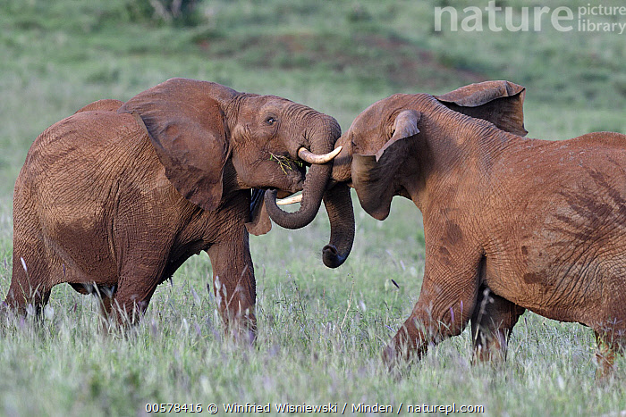 African Elephant (Loxodonta africana) sub-adult males fighting, Tsavo East National Park, Kenya  ,  African Elephant, Color Image, Competition, Day, Facing, Fighting, Full Length, Horizontal, Interacting, Kenya, Loxodonta africana, Male, Nobody, Outdoors, Photography, Side View, Sub-Adult, Threatened Species, Three Quarter Length, Tsavo East National Park, Two Animals, Vulnerable Species, Wildlife,African Elephant,Kenya  ,  Winfried Wisniewski