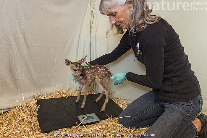 Mule Deer (Odocoileus hemionus) conservationist, Diane Nicholas, weighing three day old fawn, Kindred Spirits Fawn Rescue, Loomis, California  ,  Baby, California, Captive, Caucasian Appearance, Color Image, Conservation, Conservationist, Day, Diane Nicholas, Fawn, Female, Full Length, Horizontal, Indoors, Kindred Spirits Fawn Rescue, Loomis, Mature Adult, Mule Deer, Newborn, Odocoileus hemionus, One Animal, One Person, Photography, Rehabilitation, Rescuing, Scale, Side View, Three Quarter Length, Weighing, Wildlife, Woman,Mule Deer,California, USA  ,  Suzi Eszterhas