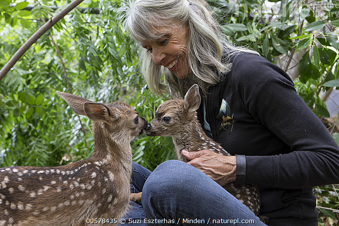Mule Deer (Odocoileus hemionus) conservationist, Diane Nicholas, holding scared three day old orphaned fawn, while greeting from sibling fawn provides comfort, Kindred Spirits Fawn Rescue, Loomis, California  ,  Baby, California, Captive, Caucasian Appearance, Comforting, Color Image, Conservation, Conservationist, Day, Diane Nicholas, Fawn, Female, Greeting, Holding, Horizontal, Kindred Spirits Fawn Rescue, Loomis, Mature Adult, Mule Deer, Newborn, Odocoileus hemionus, One Person, Orphan, Outdoors, Photography, Rehabilitation, Rescuing, Scared, Side View, Smiling, Two Animals, Waist Up, Wildlife, Woman,Mule Deer,California, USA  ,  Suzi Eszterhas