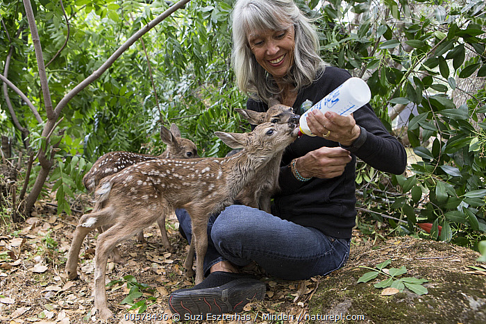 Mule Deer (Odocoileus hemionus) conservationist, Diane Nicholas, bottle feeding three day old orphaned fawns, Kindred Spirits Fawn Rescue, Loomis, California  ,  Baby, Bottle, California, Captive, Caucasian Appearance, Color Image, Conservation, Conservationist, Day, Diane Nicholas, Fawn, Feeding, Female, Full Length, Horizontal, Kindred Spirits Fawn Rescue, Loomis, Mature Adult, Mule Deer, Newborn, Odocoileus hemionus, One Person, Orphan, Outdoors, Photography, Rehabilitation, Rescuing, Side View, Smiling, Three Animals, Three Quarter Length, Wildlife, Woman,Mule Deer,California, USA  ,  Suzi Eszterhas
