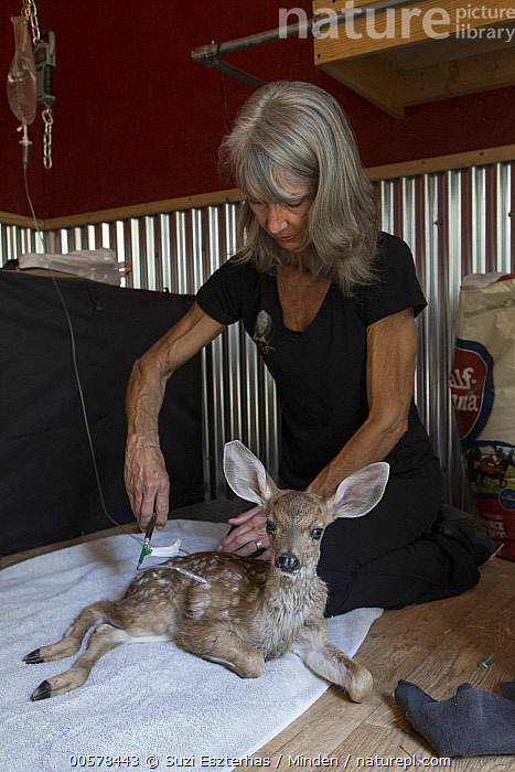 Mule Deer (Odocoileus hemionus) conservationist, Diane Nicholas, treating two week old fawn hit by car, Kindred Spirits Fawn Rescue, Loomis, California  ,  Baby, California, Captive, Caucasian Appearance, Color Image, Conservation, Conservationist, Day, Diane Nicholas, Fawn, Female, Full Length, Indoors, Injecting, Kindred Spirits Fawn Rescue, Looking at Camera, Loomis, Mature Adult, Mule Deer, Odocoileus hemionus, One Animal, One Person, Photography, Rehabilitation, Rescuing, Side View, Vertical, Wildlife, Woman,Mule Deer,California, USA  ,  Suzi Eszterhas