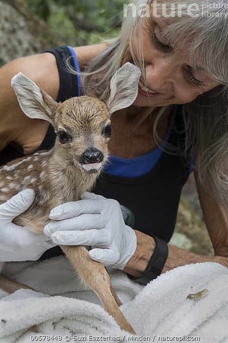 Mule Deer (Odocoileus hemionus) conservationist, Diane Nicholas, holding one day old orphaned fawn, Kindred Spirits Fawn Rescue, Loomis, California  ,  Baby, California, Captive, Caucasian Appearance, Color Image, Conservation, Conservationist, Cute, Day, Diane Nicholas, Fawn, Female, Front View, Holding, Kindred Spirits Fawn Rescue, Loomis, Mature Adult, Mule Deer, Newborn, Odocoileus hemionus, One Animal, One Person, Orphan, Outdoors, Photography, Rehabilitation, Rescuing, Side View, Smiling, Vertical, Waist Up, Wildlife, Woman,Mule Deer,California, USA  ,  Suzi Eszterhas