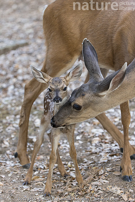 Mule Deer (Odocoileus hemionus) mother nuzzling three day old fawn, Loomis, California  ,  Adult, Affection, Baby, Bonding, California, Color Image, Cute, Day, Fawn, Female, Front View, Full Length, Looking at Camera, Loomis, Mother, Mule Deer, Newborn, Nobody, Nuzzling, Odocoileus hemionus, Outdoors, Parent, Photography, Protected, Side View, Three Quarter Length, Touching, Two Animals, Vertical, Wildlife,Mule Deer,California, USA  ,  Suzi Eszterhas