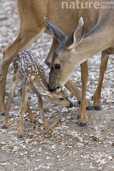 Mule Deer (Odocoileus hemionus) mother licking three day old fawn, Loomis, California  ,  Adult, Baby, Bonding, California, Cleaning, Color Image, Day, Fawn, Female, Front View, Full Length, Licking, Loomis, Mother, Mule Deer, Newborn, Nobody, Odocoileus hemionus, Outdoors, Parent, Parenting, Photography, Side View, Three Quarter Length, Two Animals, Vertical, Wildlife,Mule Deer,California, USA  ,  Suzi Eszterhas