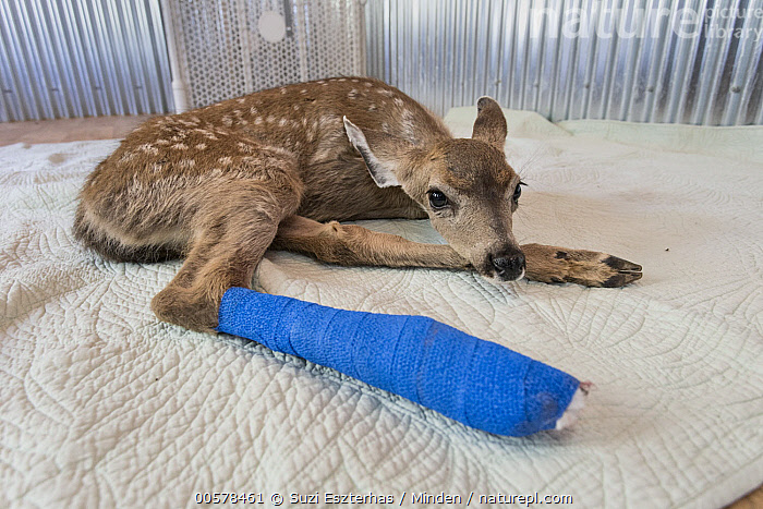 Mule Deer (Odocoileus hemionus) ten day old fawn with broken leg, Kindred Spirits Fawn Rescue, Loomis, California  ,  Baby, Broken, California, Captive, Color Image, Conservation, Day, Fawn, Full Length, Horizontal, Injured, Kindred Spirits Fawn Rescue, Loomis, Mule Deer, Nobody, Odocoileus hemionus, One Animal, Outdoors, Photography, Rehabilitation, Rescuing, Side View, Wildlife,Mule Deer,California, USA  ,  Suzi Eszterhas
