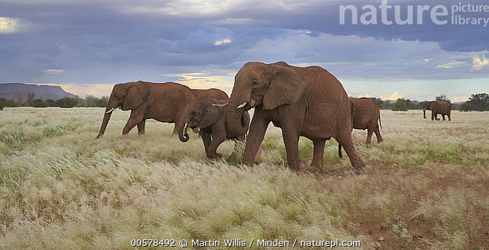African Elephant (Loxodonta africana) herd grazing, Twyfelfontein, Namibia  ,  Adult, African Elephant, Animal in Habitat, Color Image, Day, Five Animals, Full Length, Grassland, Grazing, Herd, Horizontal, Juvenile, Loxodonta africana, Namibia, Nobody, Outdoors, Panoramic, Photography, Side View, Threatened Species, Twyfelfontein, Vulnerable Species, Wildlife,African Elephant,Namibia  ,  Martin Willis