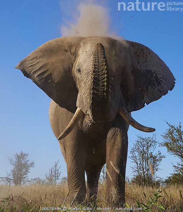 African Elephant (Loxodonta africana) dust bathing, Nxai Pan National Park, Namibia  ,  Adult, African Elephant, Color Image, Day, Dust Bathing, Front View, Full Length, Looking at Camera, Loxodonta africana, Namibia, Nobody, Nxai Pan National Park, One Animal, Outdoors, Photography, Threatened Species, Throwing, Vertical, Vulnerable Species, Wildlife,African Elephant,Namibia  ,  Martin Willis