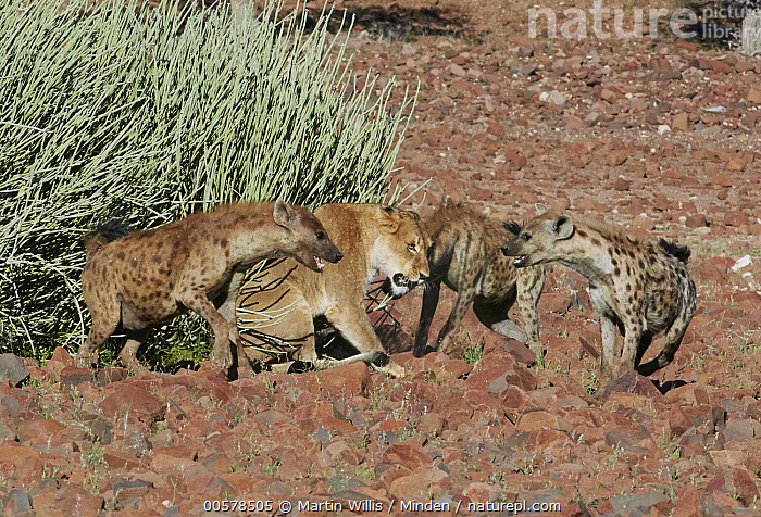 Spotted Hyena (Crocuta crocuta) trio attacking African Lion (Panthera leo) female, Palmwag, Damaraland, Namibia  ,  Adult, African Lion, Attacking, Color Image, Competition, Crocuta crocuta, Damaraland, Day, Female, Four Animals, Full Length, Horizontal, Lioness, Namibia, Nobody, Outdoors, Palmwag, Panthera leo, Photography, Side View, Spotted Hyena, Threatened Species, Vulnerable Species, Wildlife,Spotted Hyena,African Lion,Panthera leo,Namibia  ,  Martin Willis